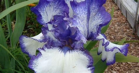 transplanting irises how to divide bearded irises to