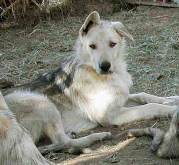 wolf hybrid- this dog is too cool! | Wolf hybrid dogs, Wolfdog hybrid, Wolf hybrid