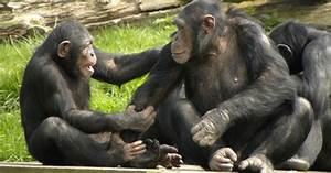 Scientists Create 'Dictionary' of Chimp Gestures to Decode ...