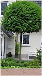 Sichtschutz Bäume Immergrün : immergr ne b ume f r kleine g rten home ideen ~ Eleganceandgraceweddings.com Haus und Dekorationen