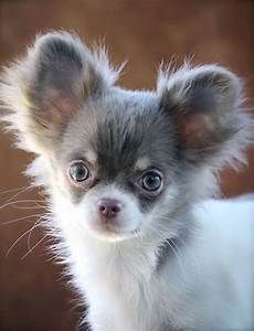 Blue haired chihuahua pictures - full hd wallpaper ...