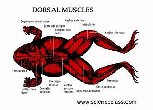 Purpose Of A Frog U0026 39 S Muscular System