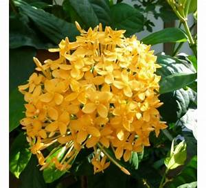 Buy Ixora Dwarf Yellow online at cheap price - India's ...