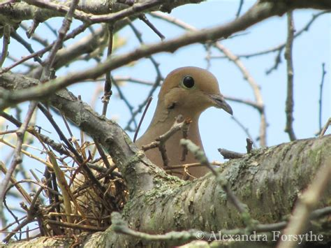 doves cuckoos nighthawks whip poor  midwest bird watching