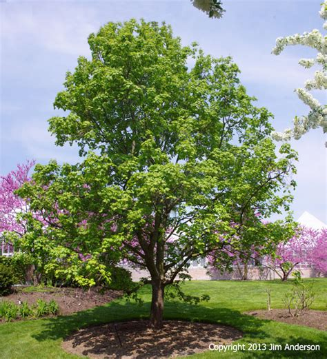 shade trees for small gardens smaller shade trees to consider for your garden