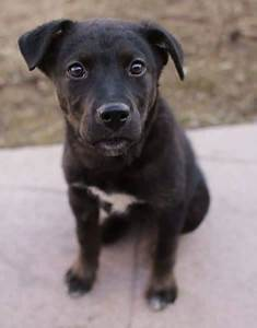 Pitbull Lab Mix – Exciting Facts Every Mixed Breed Lover ...