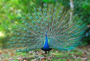 beautiful peacock photo 15 - preview