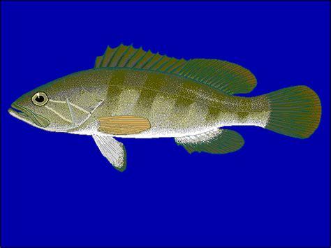 grouper wikipedia