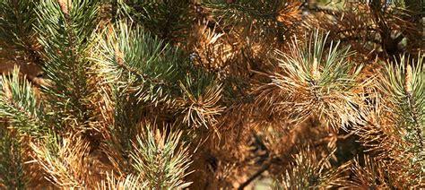 buchsbaumzünsler befällt auch andere pflanzen buchsbaumz 252 nsler bef 228 llt auch andere pflanzen der buchsbaumz nsler hat grossen appetit