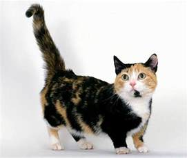 munchkin cats for munchkin cats damn cool pictures