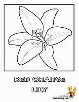 Coloring Lily Flower Easter Orange Printable Pages Lilies Sego Sheets Yescoloring Luxurious Religious sketch template