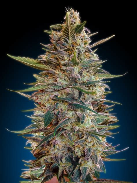 auto blue diesel by advanced seeds seedfinder strain info