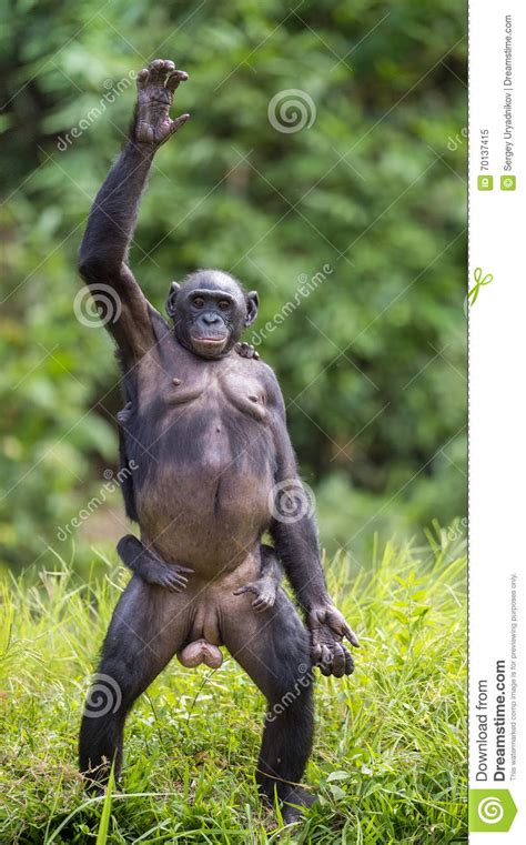 Young Chimpanzee Standing Up Like A Human - Simia Stock ...