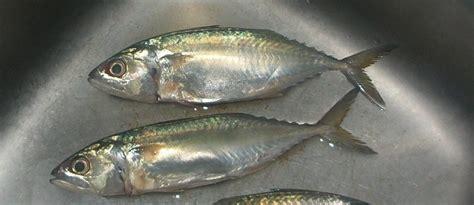 mackerel characteristicshabitat economic importance