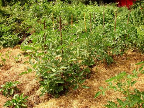 best compost for vegetable garden about tomato mulch when and how to mulch tomatoes