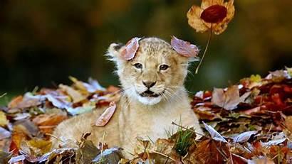 Lion Cubs Cub 4k Ultra Animal Wallpapers