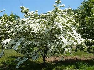 Arbuste Persistant Croissance Rapide : superior petit arbre persistant croissance rapide 5 ~ Premium-room.com Idées de Décoration