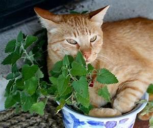 Herbe à Chat : herbe chat pour un matou bien dans ses pattes ~ Melissatoandfro.com Idées de Décoration