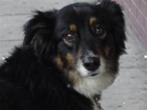 Dog of the Day: Charli the Australian Shepherd/Border ...