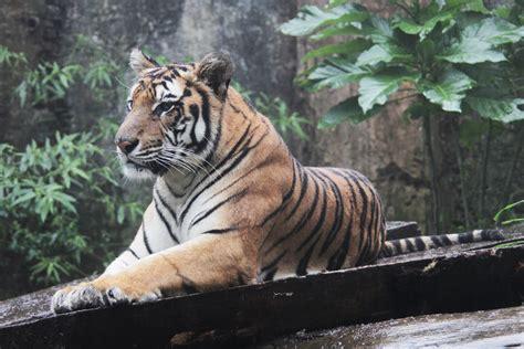 Wanita Menyusui Harimau Gambar Alam Petualangan Margasatwa Liar Kebun Binatang Gambar Margasatwa Liar Kebun Binatang
