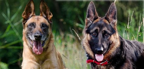 Belgian Malinois Vs German Shepherd Shedding by Belgian Malinois Vs German Shepherd Complete Guide In 2017