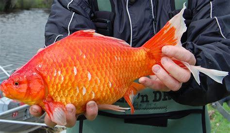 Giant Goldfish destroys waterways