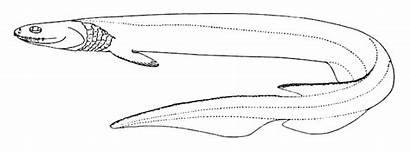 Shark Frilled Chlamydoselachus Anguineus Commons Dibujo Wikimedia