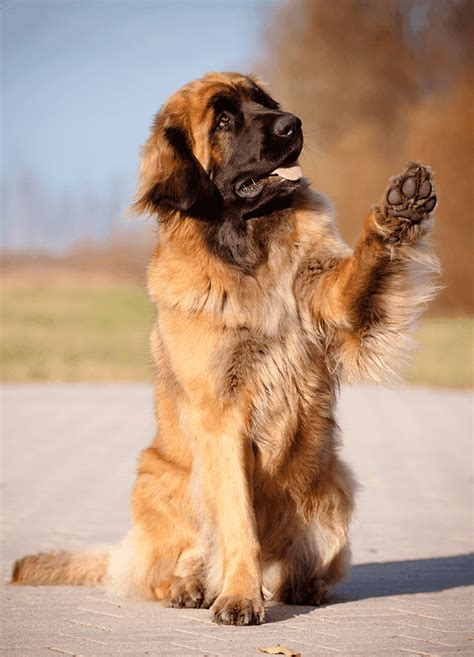 Leonberger Dog Breed Puppies