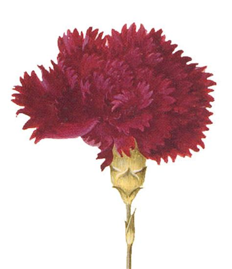 clip art red carnation  graphics fairy