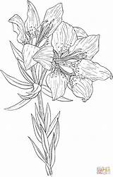 Lily Coloring Pages Wild Orange Silhouettes Printable Drawing Paper Philadelphicum Lilium sketch template