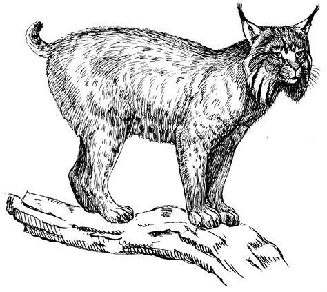 small medium cat  drawings  coloring