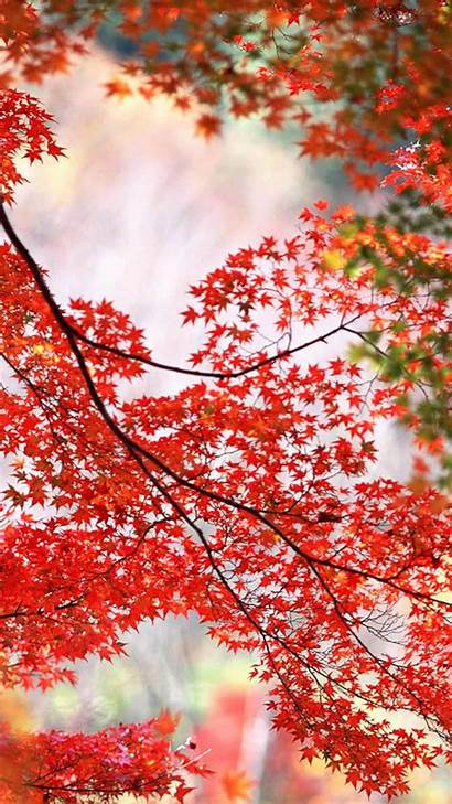 Maple Autumn Branch Leaves Leaf Android Wallpapers