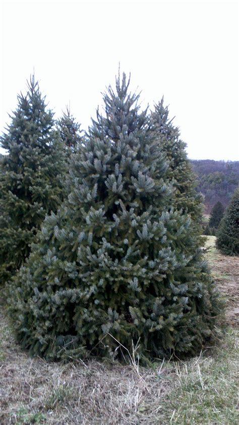 wholesale serbian spruce trees