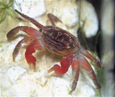 crabe aquarium eau douce crabe en aquarium eau douce