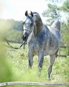 Dapple grey Arab | Horse | Pinterest