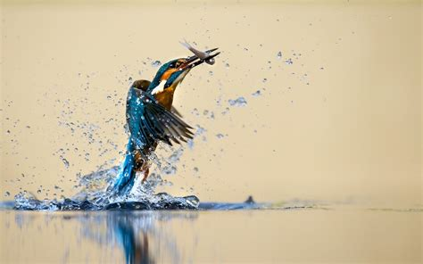 animals birds nature kingfisher water water drops