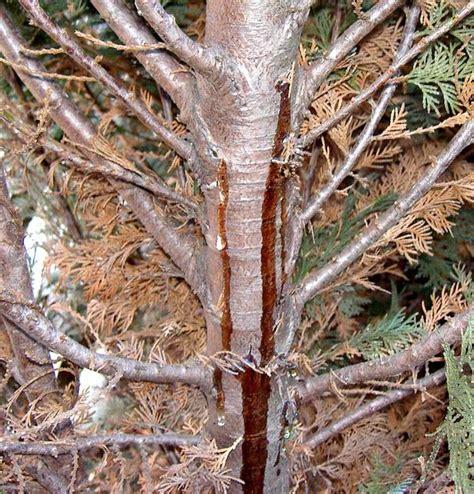 lebensbaum thuja hecke stirbt ab ursachen und hilfe fragen bilder pflanz und
