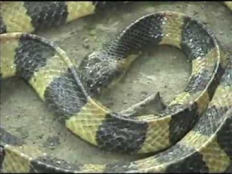 snakes  sunderbans wb india youtube