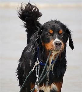 Berner Sennenhund Gewicht : berner sennenhund welpen zuverkaufen ~ Markanthonyermac.com Haus und Dekorationen