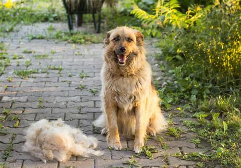 large dogs that shed 13 big dogs that don t shed large non shedding breeds
