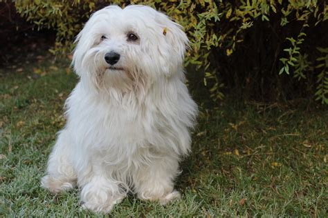 havanese bichon dog breeds picture