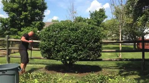 pictures of shrubs and bushes pruning a big holly shrub youtube