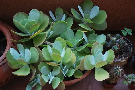types of succulent plants file succulent plant jpg wikimedia commons