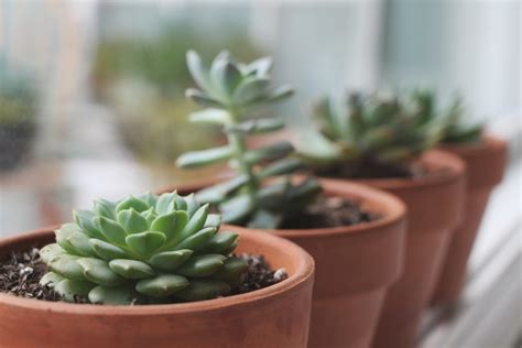 what to do with succulents tips for growing healthy succulents needles leaves