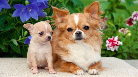 zehn dinge die kleine hunde nicht moegen tiere suchen