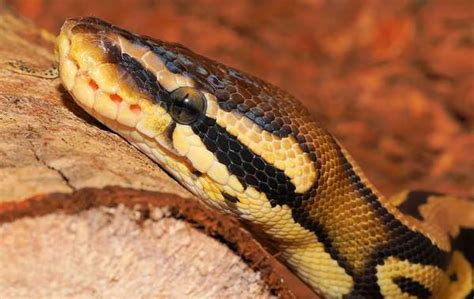 ball python heat l off at night florida man suffers bite from python while sitting on