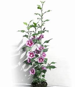 Säulen Pflanzen Winterhart : s ulen hibiskus 39 pillar rosa 39 garden flowers hibiskus winterhart und s ulen ~ Frokenaadalensverden.com Haus und Dekorationen