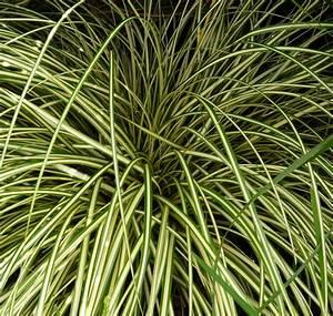 Carex Hachijoensis Evergold Pflege : pflanzenportrait ~ Lizthompson.info Haus und Dekorationen