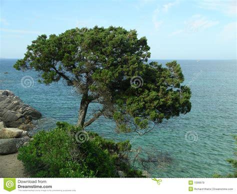 mediterranean trees image gallery mediterranean trees