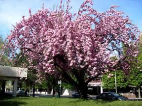 flowering plum tree diseases garden guides